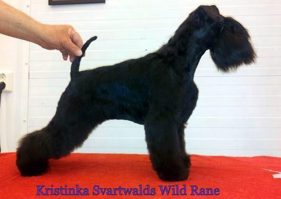 Zwergschnauzer - Kristinka Svartwalds Wild Rane ID: 17665